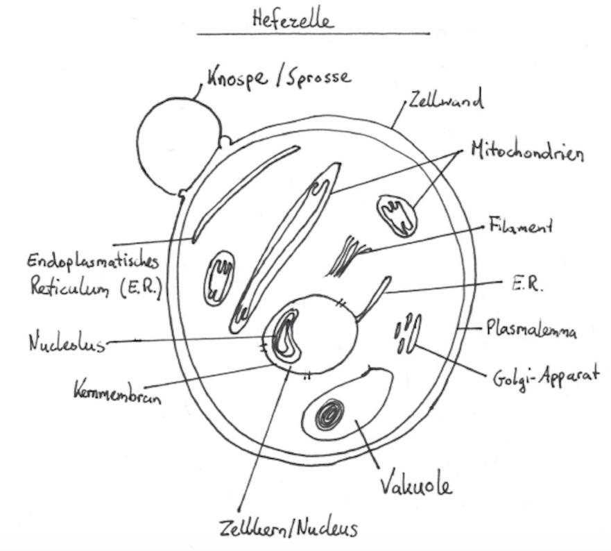Hefe Hefezelle Grafik
