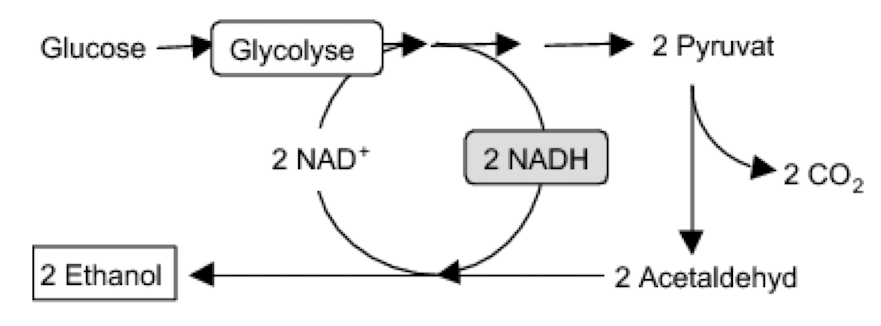 Avetaldehyd Pathway